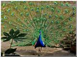 Peacock February 27 *