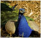 Peacock February 28 *