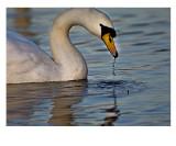 Swan Drinking.jpg