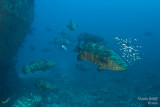 Goliath grouper spawning