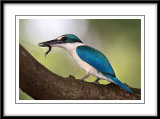 Collared kingfisher 5.jpg