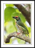 Coppersmith Barbet.jpg