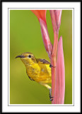 Female olive backed sunbird 4.jpg