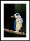Collared kingfisher 6.jpg