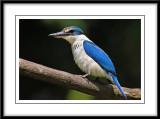Collared kingfisher 7.jpg