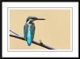 Common Kingfisher 1.jpg