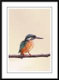 Common Kingfisher 2.jpg
