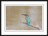 Common Kingfisher 4.jpg