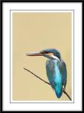 Common Kingfisher 6.jpg