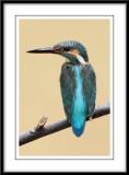 Common Kingfisher 7.jpg