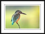 Common kingfisher 8.jpg