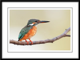 Common Kingfisher 9.jpg
