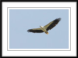 White-bellied sea eagle 2.jpg
