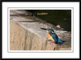 Common Kingfisher 11.jpg