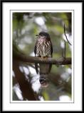 Hodgson's Hawk Cuckoo.jpg