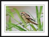 Asian Brown Shrike 1.jpg