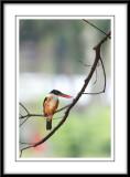 Black cap Kingfisher 2.jpg