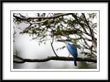 Collared kingfisher 8.jpg
