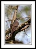 Indian Cuckoo.jpg