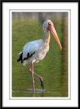 Milky Stork.jpg