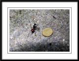 The giant ant n coin.jpg