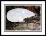 Big white fungi.jpg