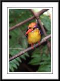 Black-backed Kingfisher.jpg