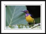 Brown-throated Sunbird.jpg