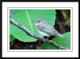Artic warbler.jpg