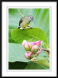 Copper throated Sunbird (female).jpg