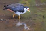 Water Hen.jpg