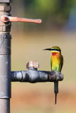 Blue Tailed Bee Eater.jpg