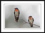 Pair of pacific swallows.jpg