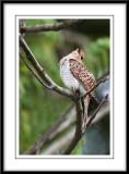 Plaintive cuckoo 2.jpg