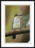 Collared kingfisher 9.jpg