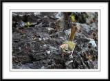 Common tailorbird 2.jpg