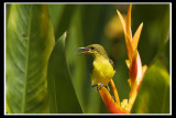 Female olive backed sunbird.jpg