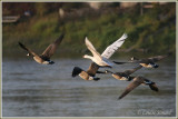 Hybride Bernache du Canada X Oie cendrée domestique / Canada Goose X  Domestic Greylag Goose hybrid
