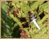 Libellula lydia (mâle) / La lydienne / Common Whitetail