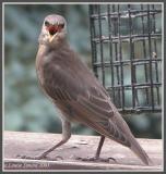 Étourneau sansonnet (European Starling)