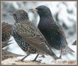 Étourneaux sansonnets (European Starling)