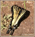 Papillon tigré du Canada / Canadian Tiger Swallowtail / Pterourus glaucus Canadensis