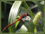 Sympetrum sp. (mâle / male)