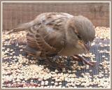 Moineau domestique (House Sparrow)