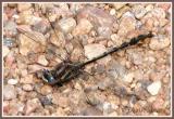 Gomphidae (genre à déterminer) (mâle / male)