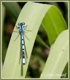Ennalagma sp. (mâle / male)