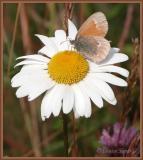 Satyre fauve / Inornate ringlet / Coenonympha tullia inornata