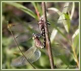 Ashena sp. (canadensis ou constricta)