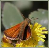 Hespérie des graminées / European Skipper / Thymelicus lineola