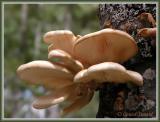 Champignons (Mushrooms)
